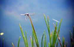 Libellula che si siede sull'erba Fotografia Stock