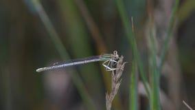 Libellula che si siede sull'erba archivi video