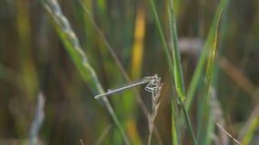 Libellula che si siede sull'erba stock footage