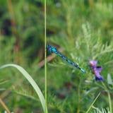 Libellula Coenagrionidae Fotografia Stock