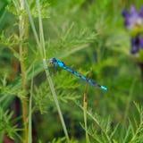 Libellula Coenagrionidae Immagine Stock