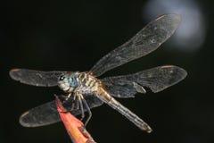 Libellula con l'ala lacerata Immagini Stock