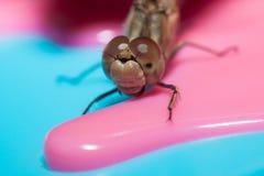 Libellula con la grande macro dell'insetto degli occhi Immagine Stock