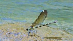 Libellula con le ali scure video d archivio