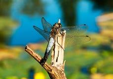 Libellula con le ali trasparenti Immagine Stock