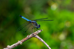 Libellula - dasher blu (longipennis di Pachydiplax) immagini stock