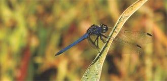 Libellula del blu reale che si siede su una foglia fotografie stock