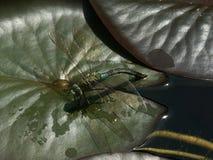 Libellula dell'acqua sul foglio lilly Fotografia Stock