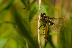 Libellula depressa Royalty Free Stock Photography