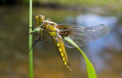 Libellula depressa - dragonfly (kobieta) (Bodied łowca) zdjęcia stock