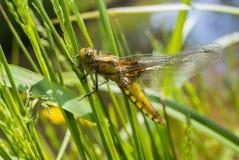 Libellula depressa - dragonfly (kobieta) (Bodied łowca) zdjęcie stock