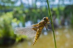 Libellula depressa - dragonfly (kobieta) (Bodied łowca) obrazy stock