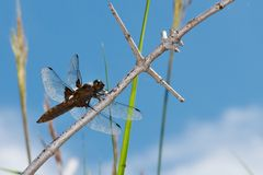 Libellula depressa Royalty Free Stock Images