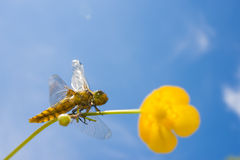 Libellula depressa (female) - dragonfly (Broad-bodied chaser) Stock Photos