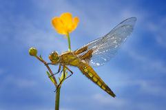 Libellula depressa (female) - dragonfly (Broad-bodied chaser) Royalty Free Stock Photography