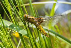 Libellula depressa (female) - dragonfly (Broad-bodied chaser). Sitting on a grass stock photo