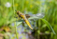 Libellula depressa (female) - dragonfly (Broad-bodied chaser) Royalty Free Stock Photo