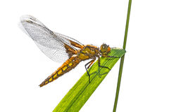 Libellula depressa (female) - dragonfly (Broad-bodied chaser). Sitting on a grass Stock Image