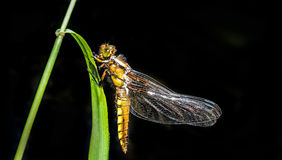 Libellula depressa (female) - dragonfly (Broad-bodied chaser) Royalty Free Stock Image