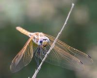 Libellula dorata III Fotografie Stock Libere da Diritti