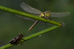 Libellula e crisalide della libellula Fotografia Stock Libera da Diritti