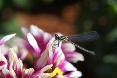 Libellula e fiore rosa Fotografia Stock Libera da Diritti