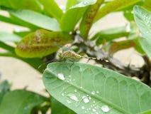 Libellula e gocce di acqua sulle foglie verdi Fotografia Stock Libera da Diritti