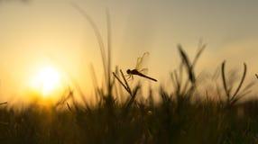 Libellula e tramonto Immagini Stock Libere da Diritti