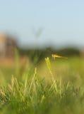 Libellula e tramonto Immagine Stock