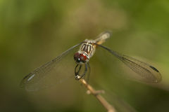 Libellula Eyed rossa - plebeja di Erythemis Immagini Stock
