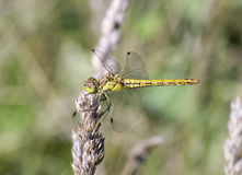 Libellula fulva the scarce chaser dragonfly Stock Image