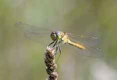 Libellula fulva the scarce chaser dragonfly Royalty Free Stock Photo