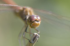 Libellula fulva the scarce chaser dragonfly Stock Photography