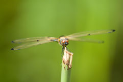 Libellula gialla Fotografie Stock