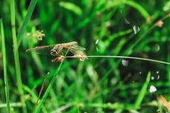 Libellula gialla Fotografia Stock