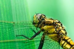 Libellula gialla che si siede e che mangia su una foglia, fotografia stock