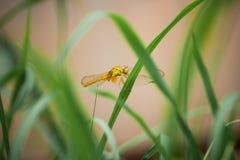 Libellula gialla sull'erba Fotografia Stock Libera da Diritti