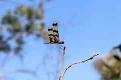 Libellula grafica di Flutterer nel Territorio del Nord dell'Australia fotografia stock