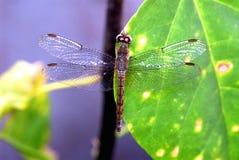 libellula marrone Fotografia Stock