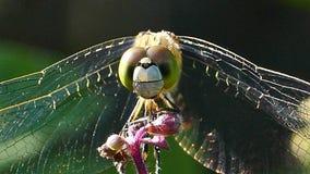 Libellula in natura archivi video