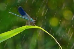 Libellula negli splendens dei coleopteres della foresta Fotografia Stock