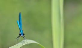 Libellula negli splendens dei coleopteres della foresta fotografie stock libere da diritti