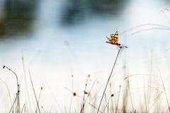 Libellula nei terreni paludosi Fotografie Stock