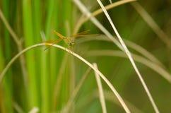 Libellula nel giacimento del riso, Tailandia Fotografia Stock