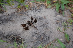 Libellula nella sabbia Fotografie Stock