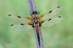 libellula quadrimaculata Obrazy Stock