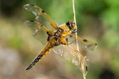 Libellula quadrimaculata Royalty Free Stock Photography