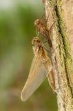Libellula quadrimaculata Zdjęcie Royalty Free