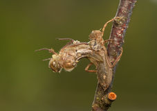 Libellula quadrimaculata 免版税图库摄影