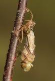Libellula quadrimaculata 免版税库存图片